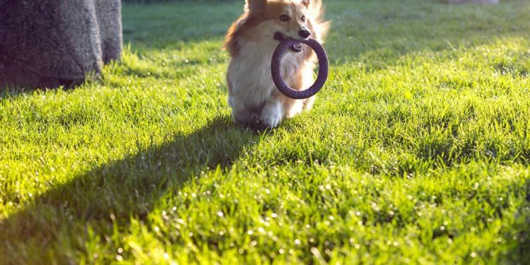 corgi playing outside with a toy