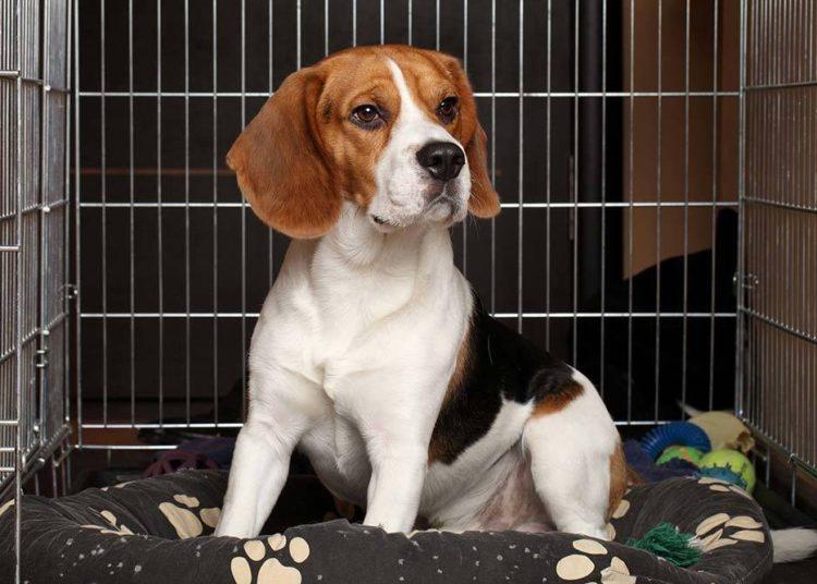 beagle in a dog crate