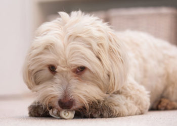 havanese dog chewing a small bone
