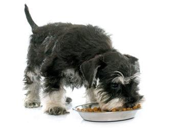 mini schnauzer eating