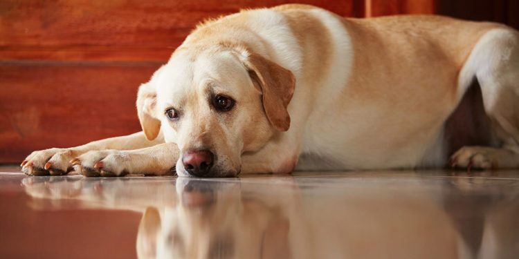 labrador laying down on a wooden floor