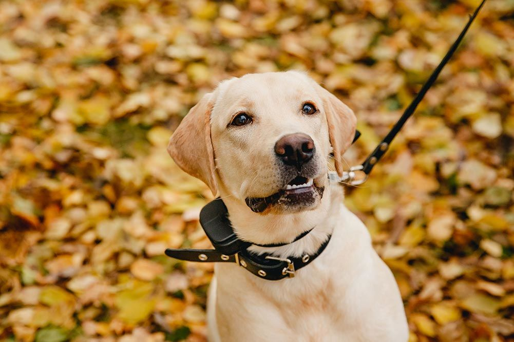 labrador wearing a black shock collar