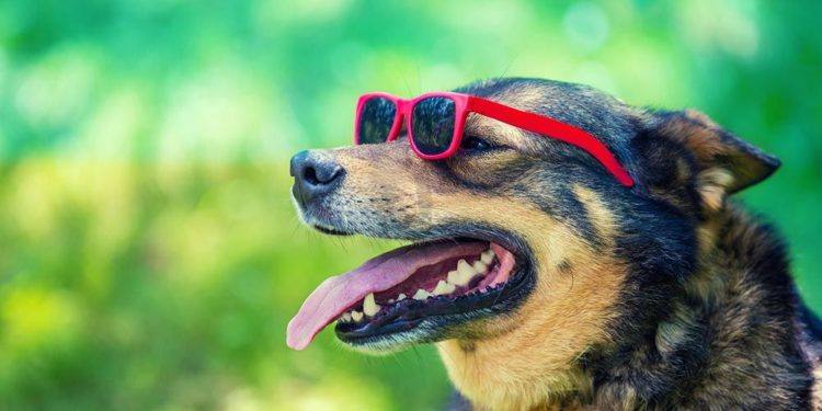 dog wearing red sunglasses