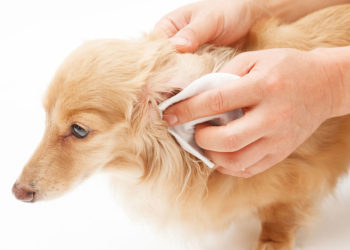 small golden dog getting its ears cleaned