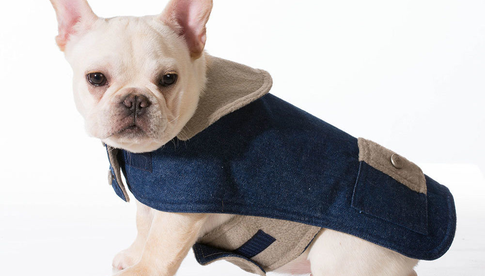 White Frenchie With A Blue Jacket On