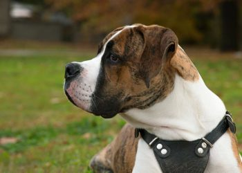 brindle american bulldog wearing a black harness