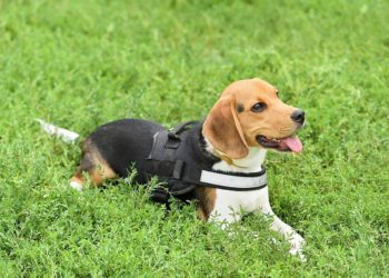 beagle laying in the grass wearing a harness