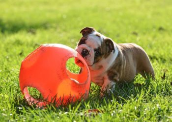 bulldog puppy chewing on a ball in the grass