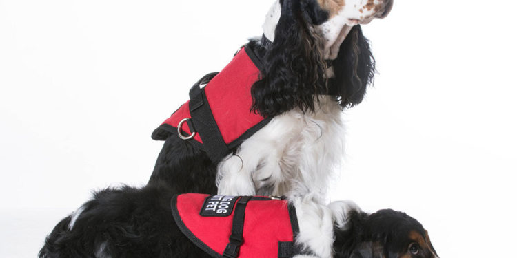 two service dogs in red vests