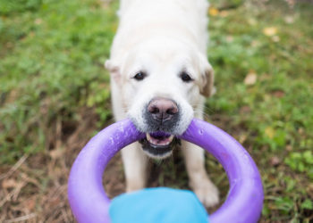 labrador tugging on a purple ring toy