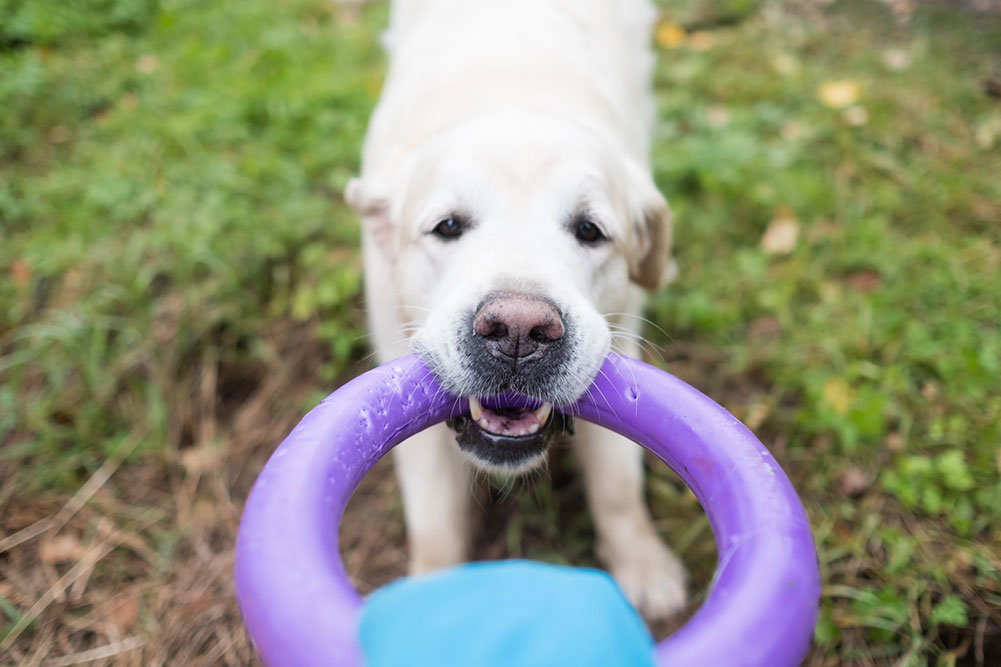 10 Best Tug Toys for Dogs Reviewed in [2020] DogStruggles
