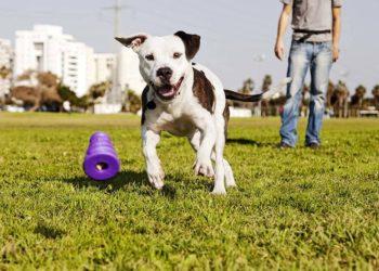 pitbull chasing a purple toy