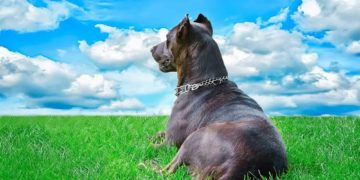 pitbull sitting on the grass outside