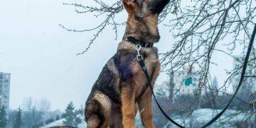 german shepherd outside on a lead