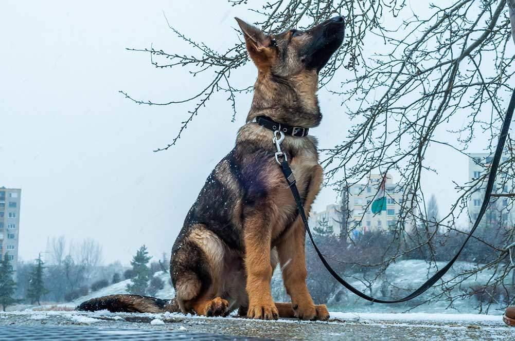 The Top 5 Best Collars For German Shepherds Reviewed