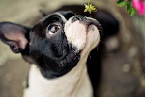 cute boston terrier looking up and sniffing a yellow flower
