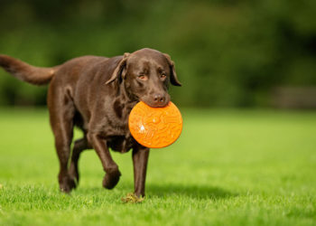 chocolate lab with an orange frisbee