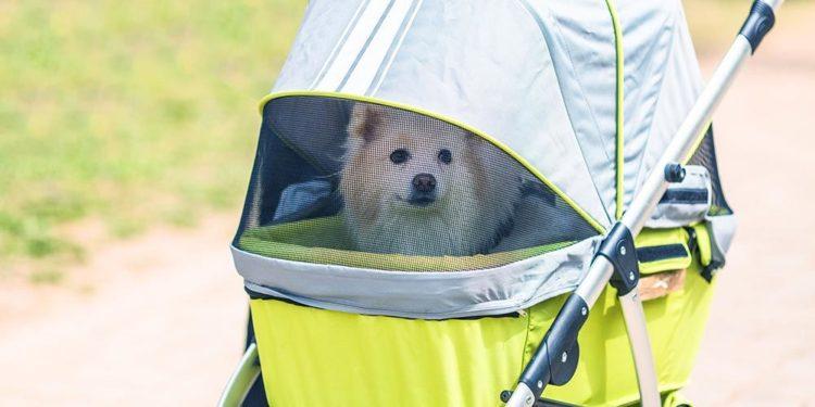fluffy white dog in a stroller