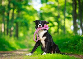 border collie holding a pink toy