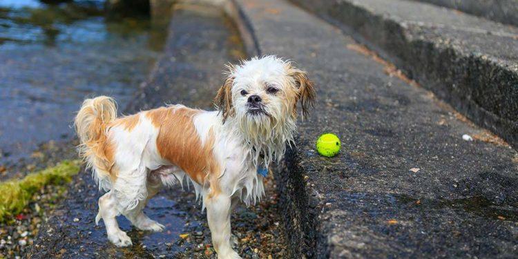 wet shih tzu waiting by its ball
