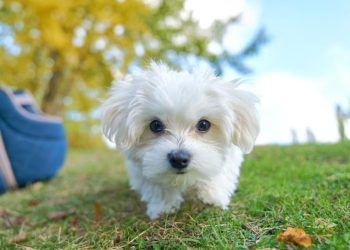 maltese puppy outside