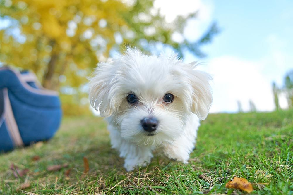 Top 5 Best Dog Foods For Maltese Puppies Reviewed In 2020