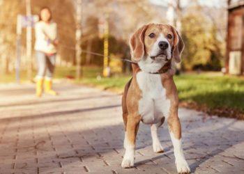 beagle outside on the path walking