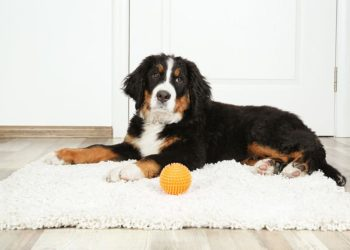 Dog sitting on a white rug with his yellow ball
