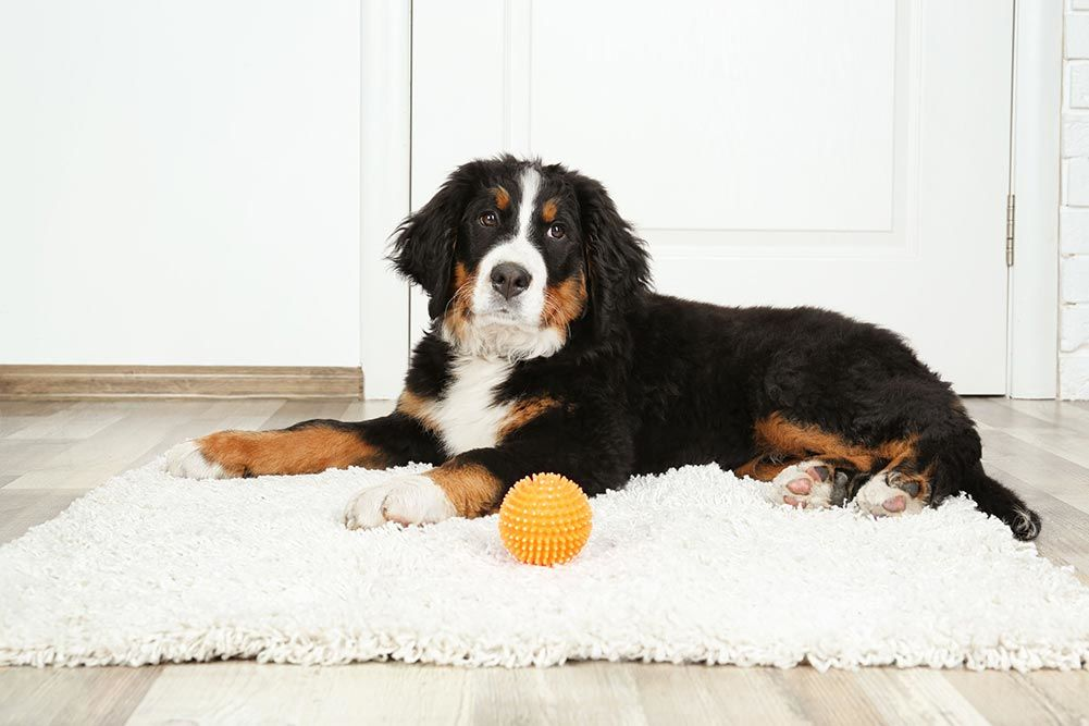Top 5 Best Rugs For Dogs Reviewed Dogstruggles