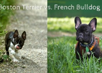 boston terrier and french bulldog outside