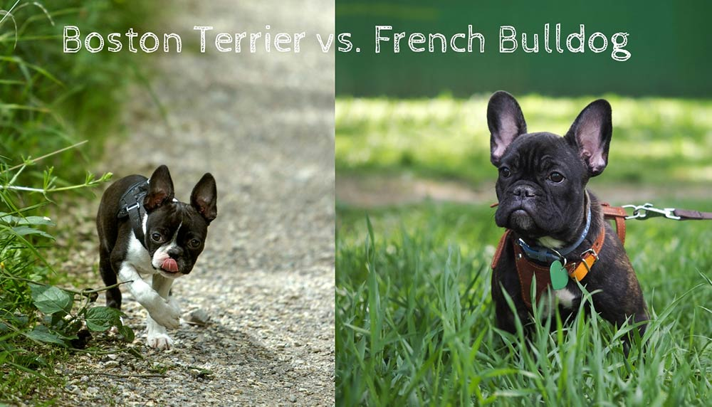 Boston Terrier vs. French Bulldog - What is the Difference?