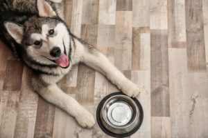 husky waiting for its food