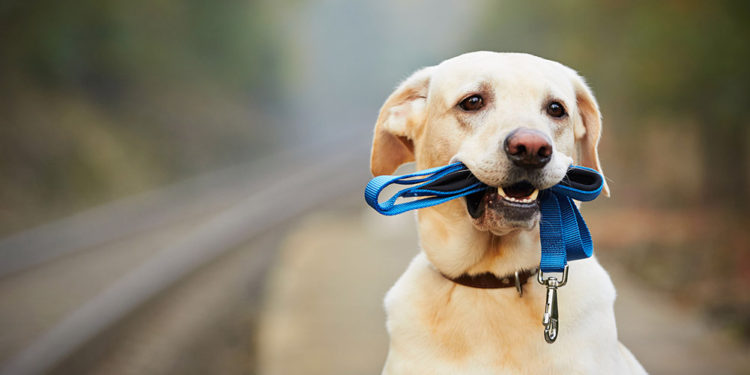 labrador with a blue leash in its mouth sitting down