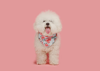 bichon frise dog with a pink background