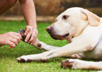 labrador laying on the grass getting its nails cut