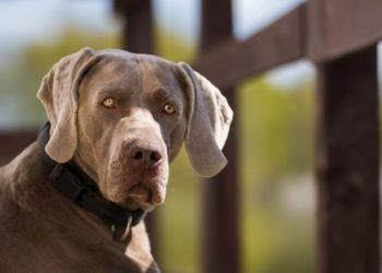 best dog foods for weimaraner-dogstruggles