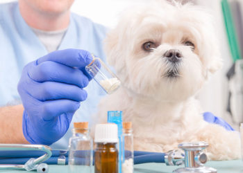 white fluffy dog at the vet with medication in front of it