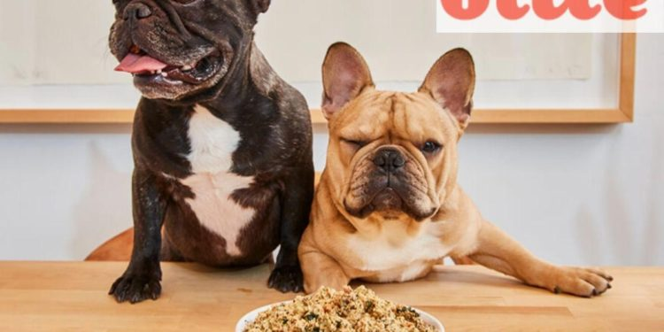 two frenchies looking at a bowl of food on the table