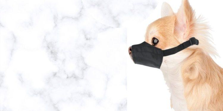 chihuahua wearing a muzzle