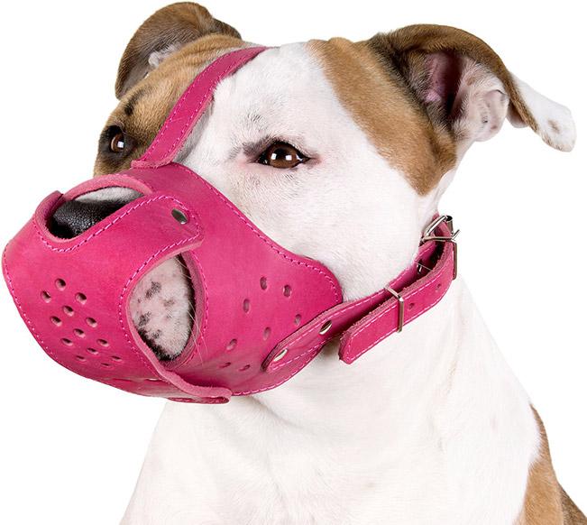 pitbull wearing a pink muzzle