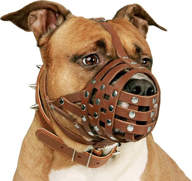 pitbull wearing a muzzle