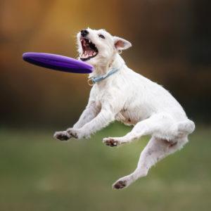great frisbee dog
