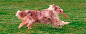 safe play frisbee dog