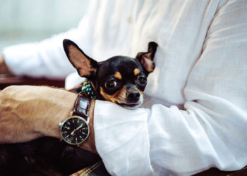 small black chihuahua in his owners arms
