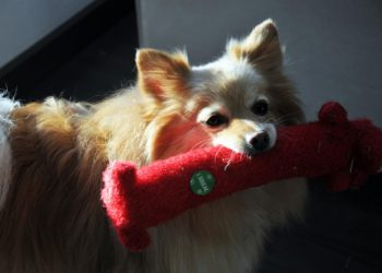 pomeranian dog playing with a toy