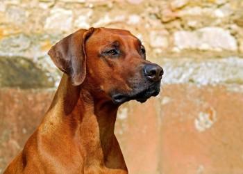 Best Dog Food for Rhodesian Ridgebacks DogStruggles