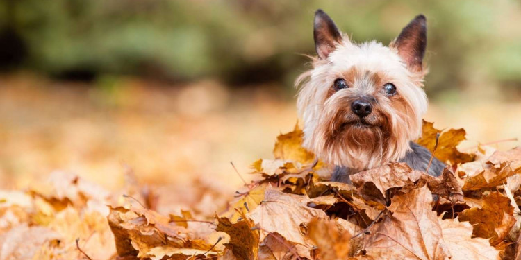 11 Smartest Small Dog Breeds Featured Image