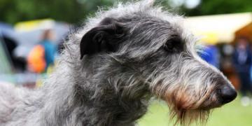 7 Long-Legged Dog Breeds Featured Image