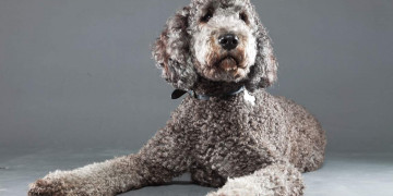 Curly haired Dog Breeds Featured Image