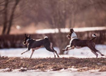 Two Basenji dogs running